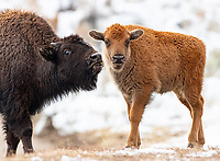 This bison calf was born late in the year, giving it a lower chance of surviving the harsh Yellowstone winter.