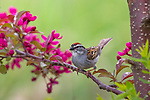 Chipping sparrow in a flowering crabapple tree