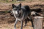 grey wolf charcoal color phase walking 45 degrees to camera, medium shot