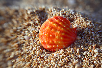 A close-up of an orange and yellow sunrise shell in the sand on a North Shore beach on O'ahu.