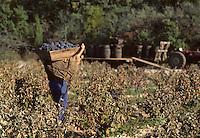 Europe/France/Midi-Pyrénées/46/Lot/Env. d'Esclauzels : Vignoble de Cahors - Porteur de hotte à vendange<br /> PHOTO D'ARCHIVES // ARCHIVAL IMAGES<br /> FRANCE 1980