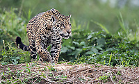 A female jaguar stalks capybaras along the river. Two hours later, she made her move, but failed to catch her prey.