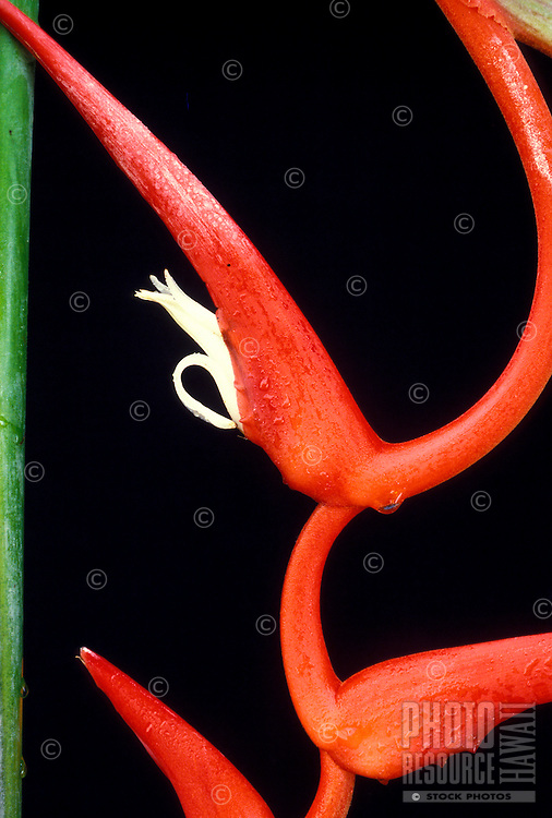 Detail of a bract and flower of Heliconia pendula, also known as Roseo-pendula, against a background of black
