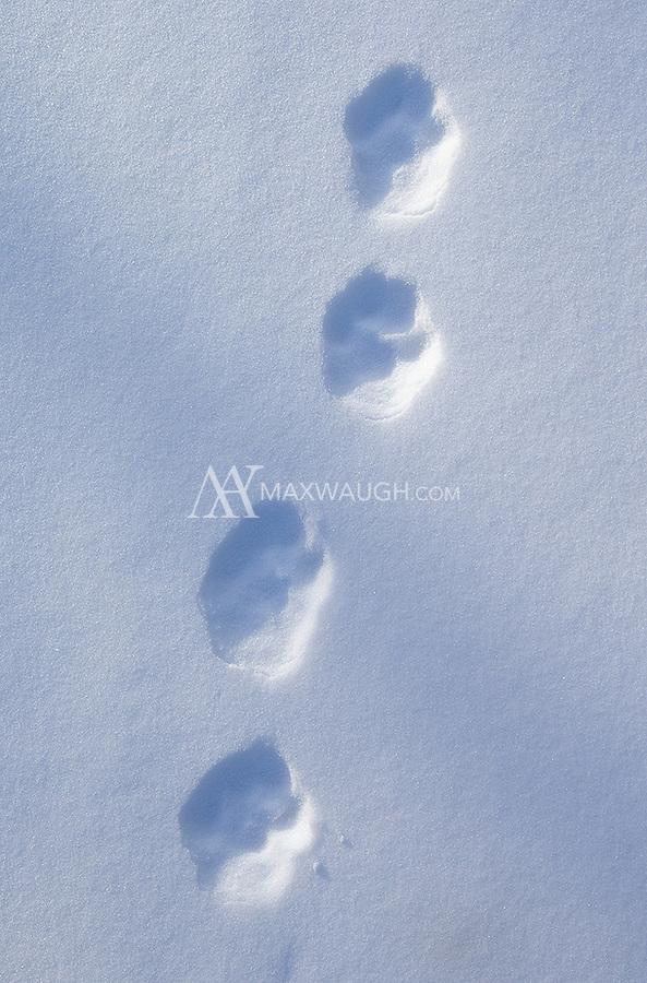 Lynx kitten footprints.
