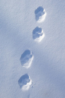 Lynx kitten footprints.
