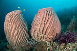 Banda Neira Island, Banda Sea, Indonesia; a pair of huge, pink barrel sponges growing near the base of a sheer wall