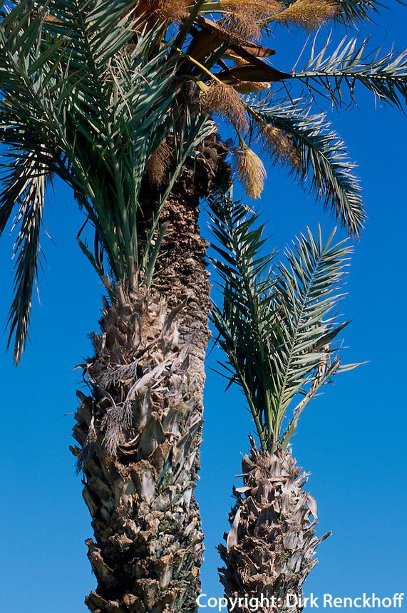 Dattelpalme, Plage de Sidi Mahres, Djerba, Tunesien