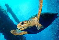 loggerhead sea turtle swimming thru an oil rig, Caretta caretta, Texas Flower Gardens National Marine Sanctuary, Gulf of Mexico, off Texas, Atlantic