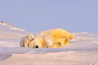 polar bear, Ursus maritimus, mother playing with her newborn spring cub outside their den, mouth of Canning River along the Arctic coast, eastern Arctic National Wildlife Refuge, Alaska, polar bear, Ursus maritimus