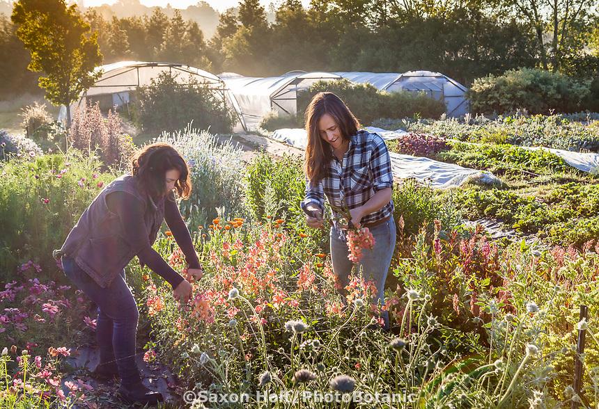 Women farmers harvesting cut flowers in early morning; No-till flower farming, Singing Frogs Farm