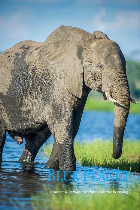 African bush elephant, Loxodonta africana, bathing and drinking water in Chobe River, Chobe National Park, Botswana