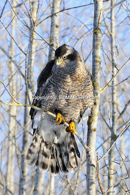 00432-029.16 Falconry:  Goshawk watching  for prey is perched in aspen tree while on the hunt.  Hunt, raptor, prey, predator.