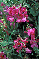 Lathyrus latifolius, Perennial Sweetpeas, Plants that come true from seed, pink flowers