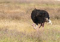 Male Common Ostrich, Struthio camelus, in Ngorongoro Crater, Ngorongoro Conservation Area, Tanzania