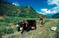 © David Paterson.A villager ploughs his field, using two oxen, in the valley of the Marysandi River, west-central Nepal...Keywords: farm, plough, agriculture, oxen, cattle, villager, native, ethnic, Marsyandi, valley, Nepal