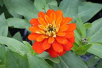 Zinnia 'Zahara Double Fire' annual flower in summer bloom