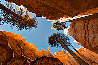 Low-angle view of the slot canyon Wall Street on the Navajo Loop Trail in Bryce Canyon, with large Douglas Firs (Pseudotsuga menziesii) reaching for the sky. January in Bryce Canyon National Park, Utah, USA