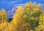 fall, color, quaking aspen, populus tremuloides, Beaver on Longs Peak, Rocky Mountain National Park, Colorado, USA
