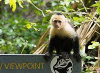 White-faced Capuchin, Cebus capucinus, sitting on a sign in Manuel Antonio National Park, Costa Rica