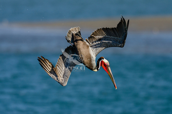 Brown Pelican (Pelecanus occidentalis) diving into ocean for fish.  California Coast.  Early Spring.  Adult California Brown Pelicans show a bright red throat pouch during mating season.