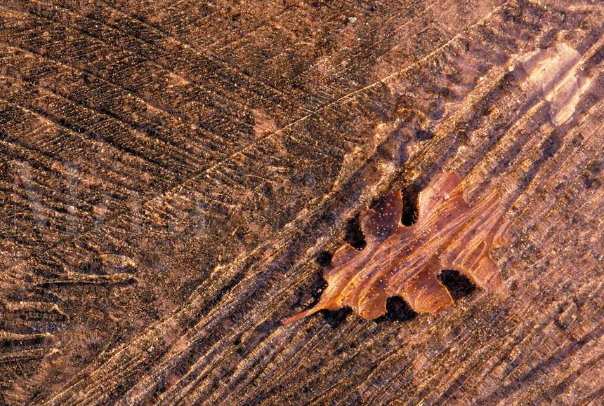 Scrub oak leaf frozen in thin ice, Nature closeup. Utah USA Arches National Park.