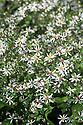 White wood aster (Aster divaricatus), mid August.