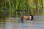 Blue-winged teal in Wisconsin