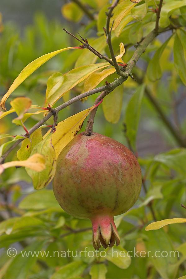 Granatapfel, Granat-Apfel, Frucht, Punica granatum, Pomegranate, Grenadier
