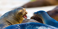 Lion seal yelling and showing his teeth, on the beautiful Floreana Island in the Galapagos Archipelago, Ecuador