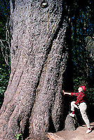 Hiker at Base of Largest Living Sitka Spruce (Picea sitchensis) Tree in British Columbia, near Kitimat, Northern BC, Canada - over 500 years old (Model Released)
