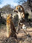 Battling tigers duel by Clint Ralph