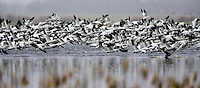 Group of Snow Geese taking flight