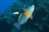 Bower's parrotfish, Scarus bowersi, Kumejima or Kume Island, Okinawa, Japan, Pacific Ocean
