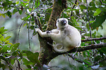 Silky Sifaka (Propithecus candidus) resting in forest canopy. Marojejy National Park, north east Madagascar (Critically Endangered).
