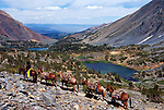 Cowboy leading mule string at Virginia Lake Summit, Hoover Wilderness, Inyo National Forest, California