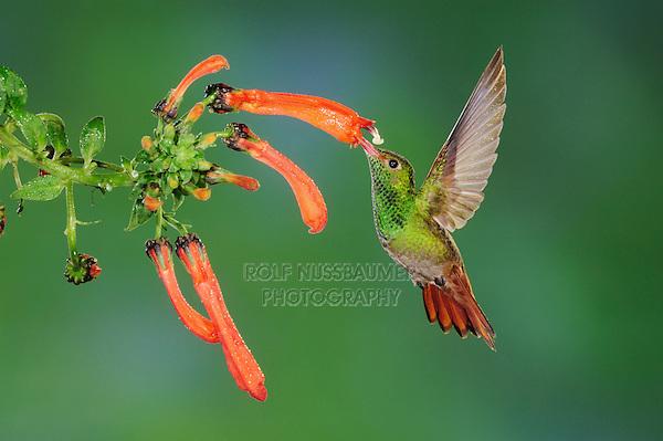 Rufous-tailed Hummingbird (Amazilia tzacatl), adult feeding from flower,Mindo, Ecuador, Andes, South America