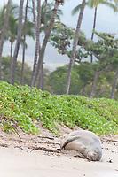 Hawaiian monk seal, Neomonachus schauinslandi, Critically Endangered endemic species, adult female resting on beach at Canoe Beach, Kaanapali, Maui, USA, Pacific Ocean