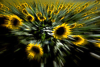 Abstract Flowers, yellow sun burst