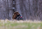 A jake wild turkey strutting in northern Wisconsin.