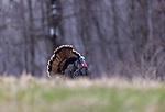 A jake wild turkey strutting in northern Wisconsin.
