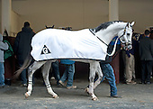 Can't help but love the grays, in this case, Champion Boy, in the paddock before the Withers.