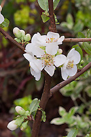 White Flowering Quince spring flowers Chaenomeles speciosa