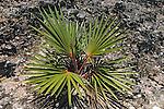 Round Island Bottle Palm
