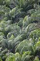 Palm Oil Tree {Elaeis sp.} plantation, Osa Peninsula, Costa Rica. May.