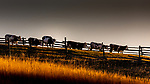 Romania, Bucovina, cows