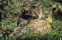 Wildkatze, Wild-Katze, putzt sich, Fellpflege, Katze, Felis silvestris, wild cat, Wildtier des Jahres 2018