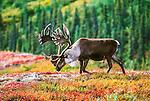 Caribou bull, Alaska