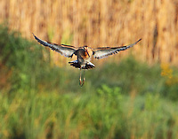 Black-tailed godwit hovering