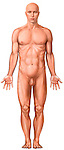 This full color medical illustration pictures the primary surface anatomy of the male body shown from an anterior (front) view. It features a single full standing white male figure from the back with arms to the side and palms facing forward in a standard anatomical position. This image is intentionally left unlabeled to accommodate custom label requests