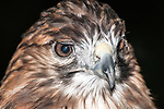 Red-tailed Hawk, close-up of face and beak